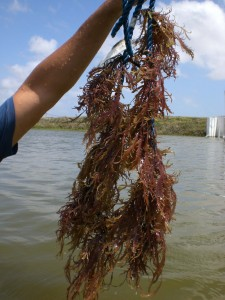 Alga (Gracilaria domingensis) cultivada com  camara_o2