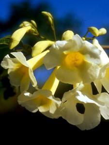 Lundia_densiflora - Bignoniaceae