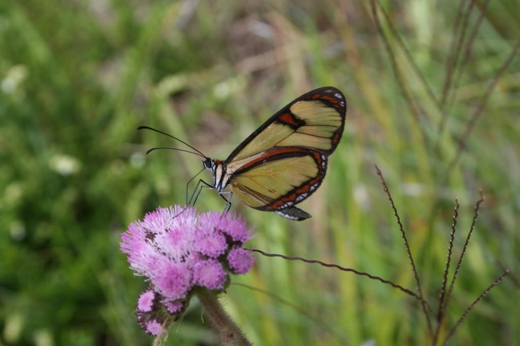 Epityches eupompe (Nymphalidae) em flor de Asteraceae. Campos do Jordão, SP. FOTO: André Freitas.