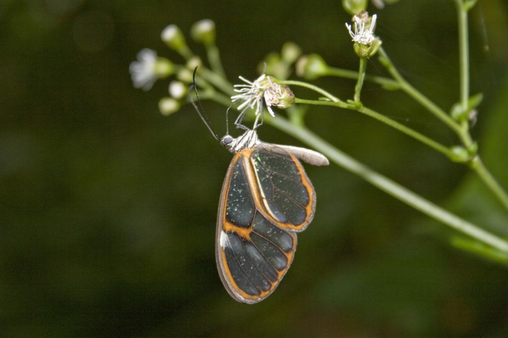 Heterosais edessa (Nymphalidae), em Campinas, SP. FOTO: André Freitas.