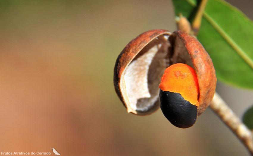 Fruto e semente de Copaifera langsdorfii. Foto: Frutos Atrativos do Cerrado. (C) Creative Commons.