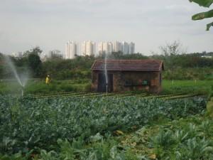 Agricultura periurbana na região do Vale do Paraíba. Foto: Camille Nolasco (c).