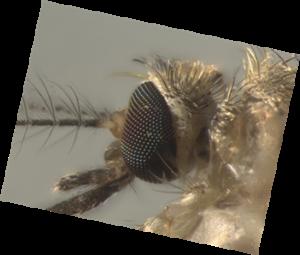 culex-quinquefasciatus-parque-ibirapuera-olhos-compostos