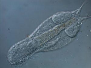 Foto de microscopia óptica de Lepidodermella sp., vista dorsal (detalhe das escamas). Foto: André Garrafoni.