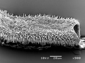 Foto de microscopia confocal de Acanthodasys sp., vista dorsal (detalhe da estrutra muscular interna). Foto: André Garraffoni.
