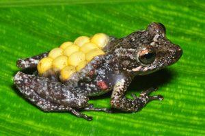 Fritziana tonimi é uma perereca-marsupial. As fêmeas dessa espécie transportam os ovos no dorso, dentro de uma bolsa aberta. Dos ovos eclodem girinos que são deixados na água acumulada nas axilas de bromélias epífitas. Foto João L. Gasparini.
