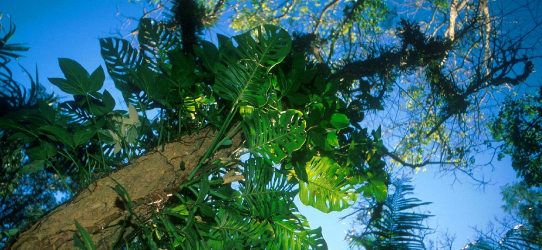 ATL Árvore com epífitas
