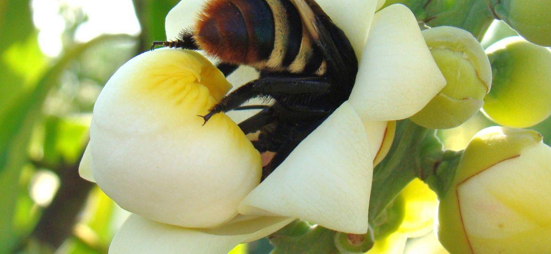 Marcelo Casimiro Cavalcante_Eulaema bombiformis em flor de Bertholletia excelsa (castanheira-do-brasil)