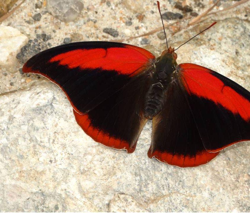 borboleta menor