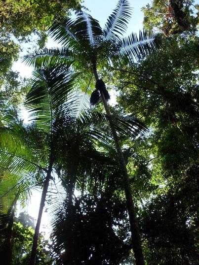 Euterpe edulis Mart (Arecaceae)