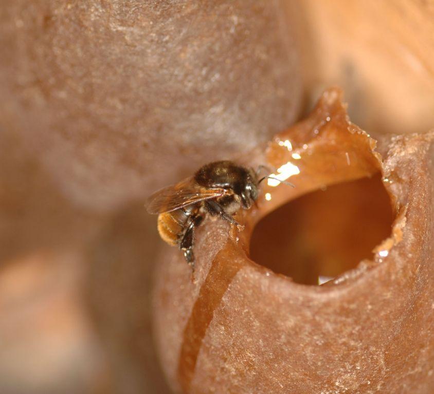 Pote de mel branco em ninho de Melipona bicolor schencki